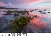 Red mangrove (Rhizophora mangle), tree seedllings at sunset, Guanahacabibes Peninsula National Park, Pinar del Rio Province, western Cuba. Стоковое фото, фотограф Claudio Contreras / Nature Picture Library / Фотобанк Лори