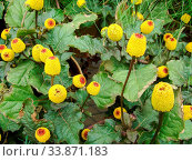 Fresh flowering para cress plant, Spilanthes oleracea, toothache. Стоковое фото, фотограф Zoonar.com/Pinrath Phanpradith / easy Fotostock / Фотобанк Лори
