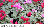 Купить «Blooming cyclamen with pink and red flowers growing in pots in greenhouse», видеоролик № 33874283, снято 8 ноября 2019 г. (c) Яков Филимонов / Фотобанк Лори