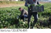Купить «Men gardeners during harvestung of fresh spinach, working in garden outdoor», видеоролик № 33874491, снято 15 апреля 2020 г. (c) Яков Филимонов / Фотобанк Лори