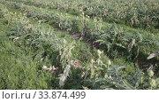 Купить «Closeup of green ripe artichokes on large plantation in sunny day», видеоролик № 33874499, снято 27 января 2020 г. (c) Яков Филимонов / Фотобанк Лори