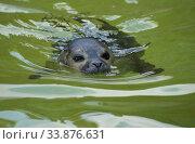 Купить «Молодой тюлень в воде», фото № 33876631, снято 2 августа 2010 г. (c) Сапрыгин Сергей / Фотобанк Лори