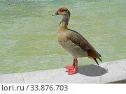 Egyptian goose (Alopochen aegyptiaca), member of duck, goose, and swan family Anatidae. Стоковое фото, фотограф Валерия Попова / Фотобанк Лори