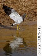 Купить «Grey-headed lapwing (Vanellus cinereus) spreading wings in water, Inner Mongolia, China», фото № 33876715, снято 3 июня 2020 г. (c) Nature Picture Library / Фотобанк Лори