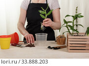 Купить «Woman transplanting young Dendrobium orchids in moss into pots. Housewife taking care of home plants and flowers.», фото № 33888203, снято 14 мая 2020 г. (c) Сергей Молодиков / Фотобанк Лори