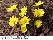 Adonis vernalis L. Адонис (горицвет весенний) весной в Алтайском крае. Стоковое фото, фотограф Григорий Писоцкий / Фотобанк Лори