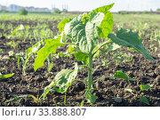 Молодой, зеленый росток подсолнечника. Стоковое фото, фотограф Алексей Букреев / Фотобанк Лори