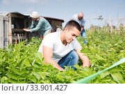 Купить «Young man working with potatoes bushes, family on background», фото № 33901427, снято 15 мая 2019 г. (c) Яков Филимонов / Фотобанк Лори