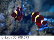 Клоун мавританский,  Клоун премнас мавританский или Премнас биоцелатус (Premnas biaculeatus)  морская рыба. Стоковое фото, фотограф Татьяна Белова / Фотобанк Лори