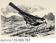 The white wagtail or wagtail (Motacilla alba), known as the snow bow tie or pitita, is a small species of passerine bird in the Motacillidae family. Old engraved animal illustration 19th century. Стоковое фото, фотограф Jerónimo Alba / age Fotostock / Фотобанк Лори