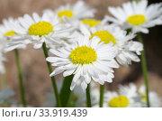 Купить «Белые маргаритки (лат. Bellis perennis) крупным планом», фото № 33919439, снято 28 мая 2019 г. (c) Елена Коромыслова / Фотобанк Лори