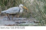 Купить «Grey heron (Ardea cinerea) with frog prey, Peerdsbos, Braschaat, Belgium», фото № 33919535, снято 13 июля 2020 г. (c) Nature Picture Library / Фотобанк Лори