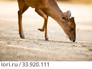 Red duiker (Cephalophus natalensis) Isimangaliso Wetland Park; KwaZulu-Natal, South Africa. Стоковое фото, фотограф Richard Du Toit / Nature Picture Library / Фотобанк Лори
