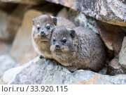 Rock hyrax (Procavia capnsis) Garden Route, Western Cape Province... Стоковое фото, фотограф Richard Du Toit / Nature Picture Library / Фотобанк Лори