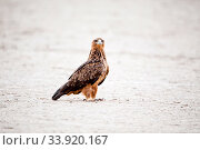 Tawny eagle (Aquila rapax) on ground, Kgalagadi Transfrontier Park, South Africa. Стоковое фото, фотограф Richard Du Toit / Nature Picture Library / Фотобанк Лори
