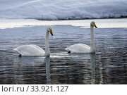Two Whooper swans, Cygnus cygnus swimming and one having seagrass haning from the beak, Gällivare, Swedish Lapland, Sweden. Стоковое фото, фотограф Mats Lindberg / age Fotostock / Фотобанк Лори