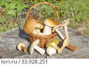 Разные съедобные грибы на старом пне. Стоковое фото, фотограф Елена Коромыслова / Фотобанк Лори