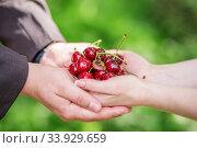 Купить «Hands of bride and groom holding a handful of cherries with wedding rings», фото № 33929659, снято 20 июня 2015 г. (c) Nataliia Zhekova / Фотобанк Лори