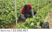 Confident African-American farmer working in greenhouse, harvesting organic Swiss chard. Стоковое видео, видеограф Яков Филимонов / Фотобанк Лори