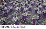 Rows of houseplant seedlings growing in greenhouse farm. Стоковое видео, видеограф Яков Филимонов / Фотобанк Лори