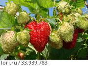 Купить «Strawberry», фото № 33939783, снято 25 июня 2011 г. (c) Александр Карпенко / Фотобанк Лори