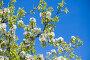 Весенний день.Цветы яблони на фоне голубого неба. Стоковое фото, фотограф Литвяк Игорь / Фотобанк Лори