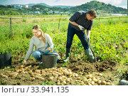 Купить «Couple of farmers harvest crop of potatoes on the field», фото № 33941135, снято 12 июля 2020 г. (c) Яков Филимонов / Фотобанк Лори