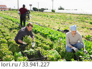 Farmer and his assistant harvesting ripe lettuce. Стоковое фото, фотограф Яков Филимонов / Фотобанк Лори