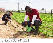 Купить «Gardeners planting seedlings of lettuce», фото № 33941251, снято 13 мая 2020 г. (c) Яков Филимонов / Фотобанк Лори