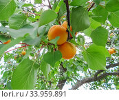 Купить «Ripe sweet apricot fruits growing on a apricot tree branch», фото № 33959891, снято 20 июня 2017 г. (c) Nataliia Zhekova / Фотобанк Лори