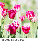 Tulip Flower. Beautiful bouquet of tulips. colorful tulips. tulips in spring at the garden, colorful tulip, Стоковое фото, фотограф Nataliia Zhekova / Фотобанк Лори