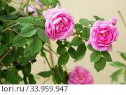 Купить «tea rose bush. Rose oil production.», фото № 33959947, снято 12 мая 2018 г. (c) Nataliia Zhekova / Фотобанк Лори