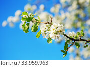 Купить «Pear blossom on branch», фото № 33959963, снято 16 апреля 2016 г. (c) Nataliia Zhekova / Фотобанк Лори