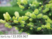 Conifer tree with bright new rising needles. Light green fir tree branch in spring. Forest, garden, spruce, green. Стоковое фото, фотограф Nataliia Zhekova / Фотобанк Лори