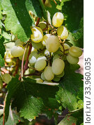 Large bunch of white wine grapes hang from a vine. Winemaking. Стоковое фото, фотограф Nataliia Zhekova / Фотобанк Лори