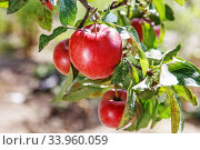 Купить «Ripe sweet apple fruits growing on a apple tree branch», фото № 33960059, снято 13 сентября 2015 г. (c) Nataliia Zhekova / Фотобанк Лори