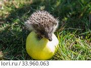 Купить «hedgehog and apple (erinaceus europaeus)», фото № 33960063, снято 20 сентября 2015 г. (c) Nataliia Zhekova / Фотобанк Лори