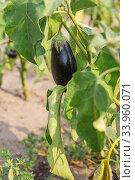 Eggplant growing on the vine. Стоковое фото, фотограф Nataliia Zhekova / Фотобанк Лори