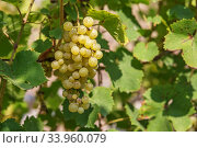 Large bunch of white wine grapes hang from a vine. Стоковое фото, фотограф Nataliia Zhekova / Фотобанк Лори