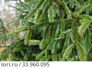 Spruce tree after the rain. A bright evergreen pine tree green needles branches with rain drops. Fir-tree with dew, conifer, spruce close up, blurred background. alpine forest. Стоковое фото, фотограф Nataliia Zhekova / Фотобанк Лори