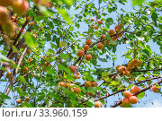 Купить «Ripe sweet apricot fruits growing on a apricot tree branch in orchard», фото № 33960159, снято 24 июня 2017 г. (c) Nataliia Zhekova / Фотобанк Лори