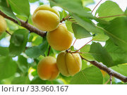 Купить «Ripe sweet apricot fruits growing on a apricot tree branch in orchard», фото № 33960167, снято 24 июня 2017 г. (c) Nataliia Zhekova / Фотобанк Лори