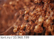 A dry hops texture for background. Стоковое фото, фотограф Nataliia Zhekova / Фотобанк Лори