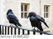 two black ravens in the Tower of London, UK. (2017 год). Стоковое фото, фотограф Nataliia Zhekova / Фотобанк Лори
