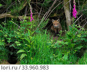 European red fox (Vulpes vulpes) cub sitting beside den, on bank with Foxglove (Digitalis purpurea). UK. June. Стоковое фото, фотограф Andy Rouse / Nature Picture Library / Фотобанк Лори