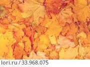 Maple yellow leaves background texture. Стоковое фото, фотограф Nataliia Zhekova / Фотобанк Лори