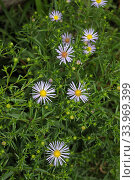 Hairy michaelmas daisy (Aster novae-angliae) Ham Common, Surrey, England, August. Стоковое фото, фотограф Linda Pitkin / Nature Picture Library / Фотобанк Лори