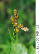 Oval sedge (Carex leporina) in flower, Chiddingstone Nature Reserve, Kent, England, June. Стоковое фото, фотограф Linda Pitkin / Nature Picture Library / Фотобанк Лори