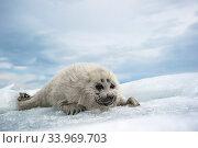 Baikal seal (Pusa sibirica) pup on ice, endemic species. Lake Baikal, Russia, April. Стоковое фото, фотограф Olga Kamenskaya / Nature Picture Library / Фотобанк Лори