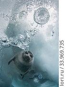 Young Baikal seal (Pusa sibirica) at breathing hole Lake Baikal, Siberia, Russia. April. Стоковое фото, фотограф Olga Kamenskaya / Nature Picture Library / Фотобанк Лори